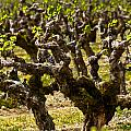 Wine On The Vine by Colleen Coccia