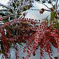 Winter Berries frozen in time