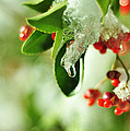 Winter Berries by Rebecca Sherman