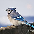 Winter Blue Jay by Pamela Baker