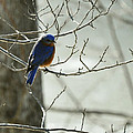 Winter Bluebird by Rebecca Sherman