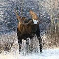 Winter Bull by Doug Lloyd