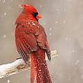 Winter Cardinal  by Mircea Costina Photography