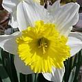 Winter Daffodil  by Jonathan Barnes