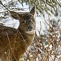 Winter Dining For A Black-tailed Deer by Tim Grams