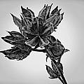 Winter Dormant Rose Of Sharon - Bw by David Dehner