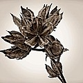 Winter Dormant Rose Of Sharon - S by David Dehner