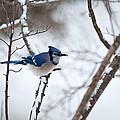 Winter Jay by Karol Livote