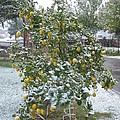 Winter Lemons