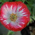 Winter Poppy by Diana Hatcher