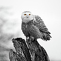 Winter Snowy Owls by Pierre Leclerc Photography