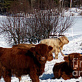 Winter Steer  by The Kepharts