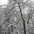 Winter Trees by Kim Frank