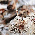 Winters Vine by Elaine Mikkelstrup