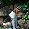 Wirehair Fox Terrier by Susan Herber