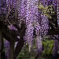 Wisteria Droplets by Mike Reid