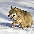 Wolf Canis Lupus Walking In Snow by Konrad Wothe