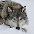 Wolf Closeup by Jacki Pienta
