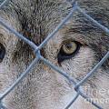 Wolf Eyes by Art Dingo