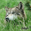 Wolf Laying In Grass by Bobbylee Farrier
