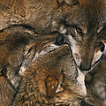 Wolf Pack Biting Each Others Muzzles by Ulrich Kunst And Bettina Scheidulin