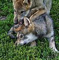 Wolf Play by Shari Jardina