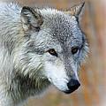 Wolf Profile by Steve McKinzie