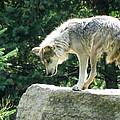 Wolf by Ryan Cummings