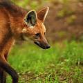 Wolf Strut by Karol Livote