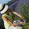 Woman Picking Up Lavender Flowers In Field by Sami Sarkis