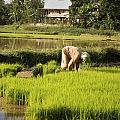 Woman Planting Rice by Axiom Photographic