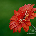Wonder Of Nature Gerber Daisy by Inspired Nature Photography Fine Art Photography