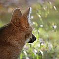Wondering Wolf by Karol Livote