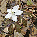 Wood Anemone - Anemone Quinquefolia by Mother Nature
