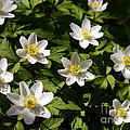 Wood Anemone by John Chatterley