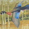 Wood Duck Flying by Alan Suliber