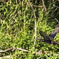 Wood Duck In Flight by Edward Peterson