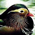 Wood Duck by Merton Allen