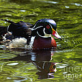 Wood Duck by Sharon Talson