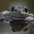 Wood Frog  Rana Sylvatica by Michael S. Quinton