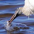 Wood Stork Fishing by Bruce J Robinson