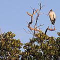 Wood Stork Out On A Limb by Rosalie Scanlon