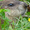 Woodchuck by Azthet Photography