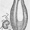 Woodcut Of A Soursop Fruit by Middle Temple Library