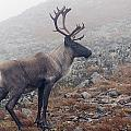 Woodland Caribou Walking On Alpine by Philippe Henry