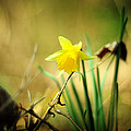 Woodland Narcissus by Rebecca Sherman