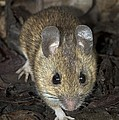 Woodmouse by Colin Varndell