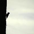 Woodpecker by Fabio Lorenzano