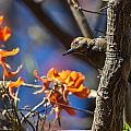 Woodpecker Listening by Craig Lapsley