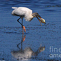 Woodstork Catches Fish by Barbara Bowen